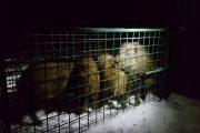 Legionowo: Kolejne 5 dzików wywiezione