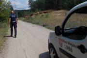 Legionowo: Krowy uciekły z zagrody. Interweniowała Straż Miejska